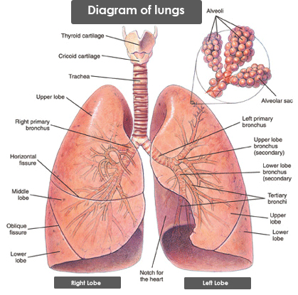 Diagram of lungs