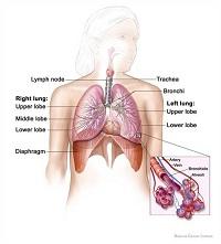 lunganddiaphragm (1)